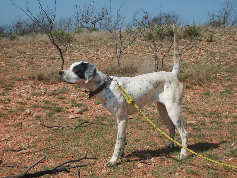 Bird Dogs For Sale In Texas