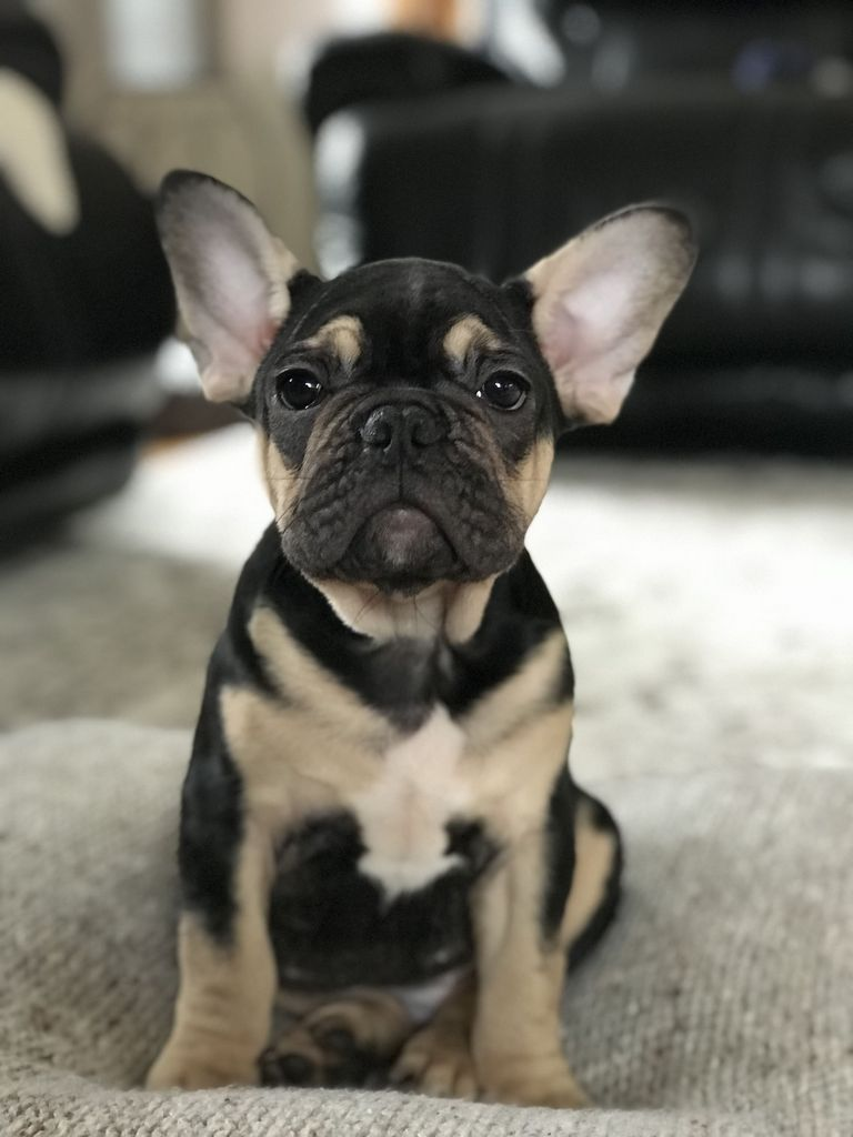 Black And Tan French Bulldog For Sale