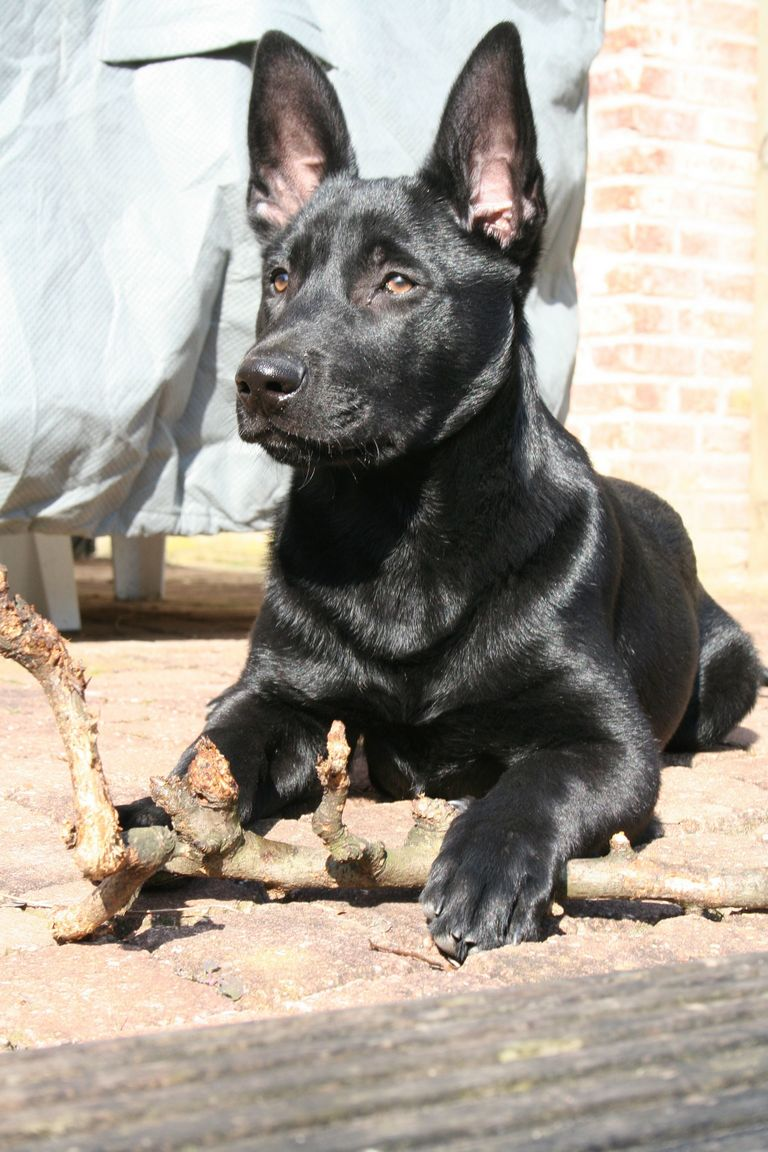 Black Belgian Malinois Puppies For Sale