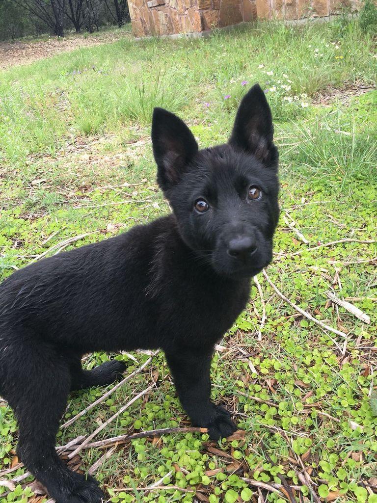 Black German Shepherd Puppies Washington