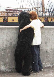 Black Russian Terrier Mn