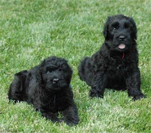 Black Russian Terrier Poodle Mix For Sale