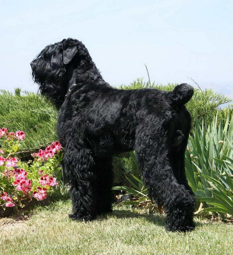 Black Russian Terrier Shedding