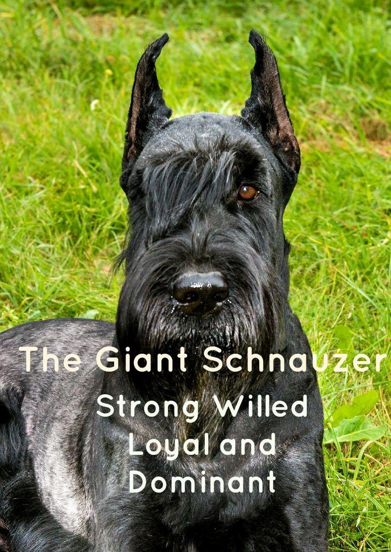 Blackbeard Giant Schnauzer