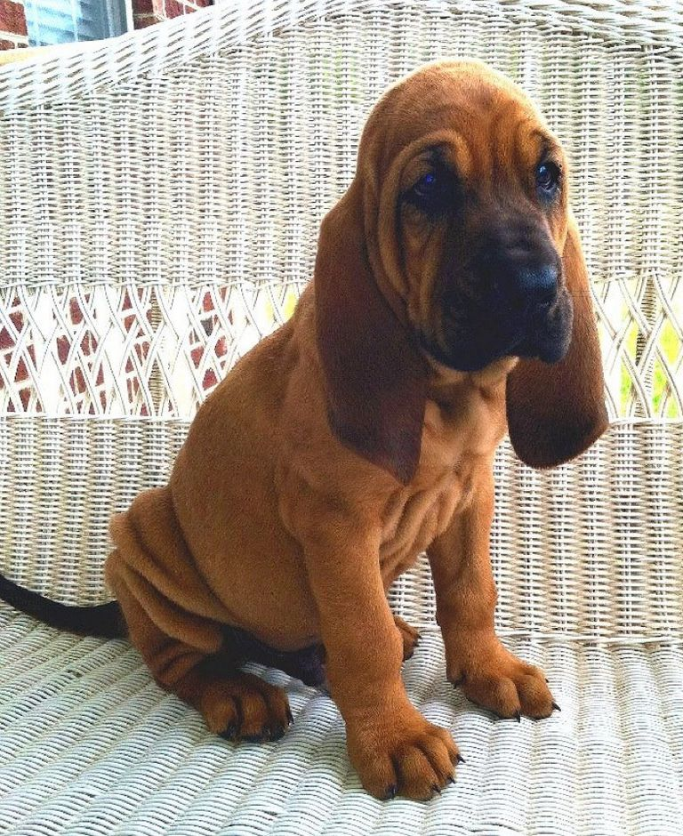 Bloodhound Puppies Available