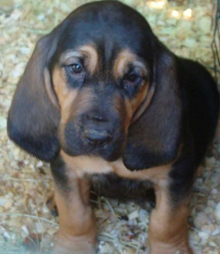 Bloodhound Puppies For Sale In Ohio