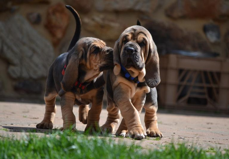 Bloodhound Puppies For Sale Michigan