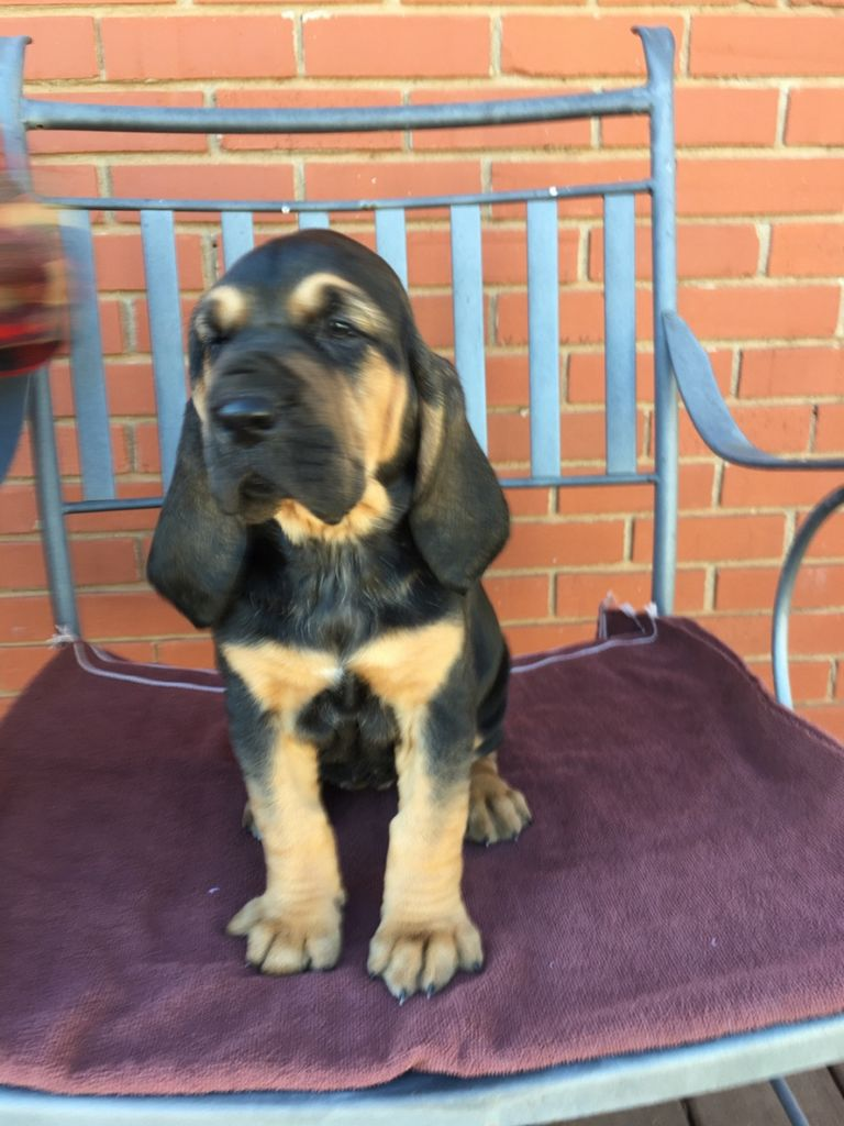 Bloodhound Puppies Texas