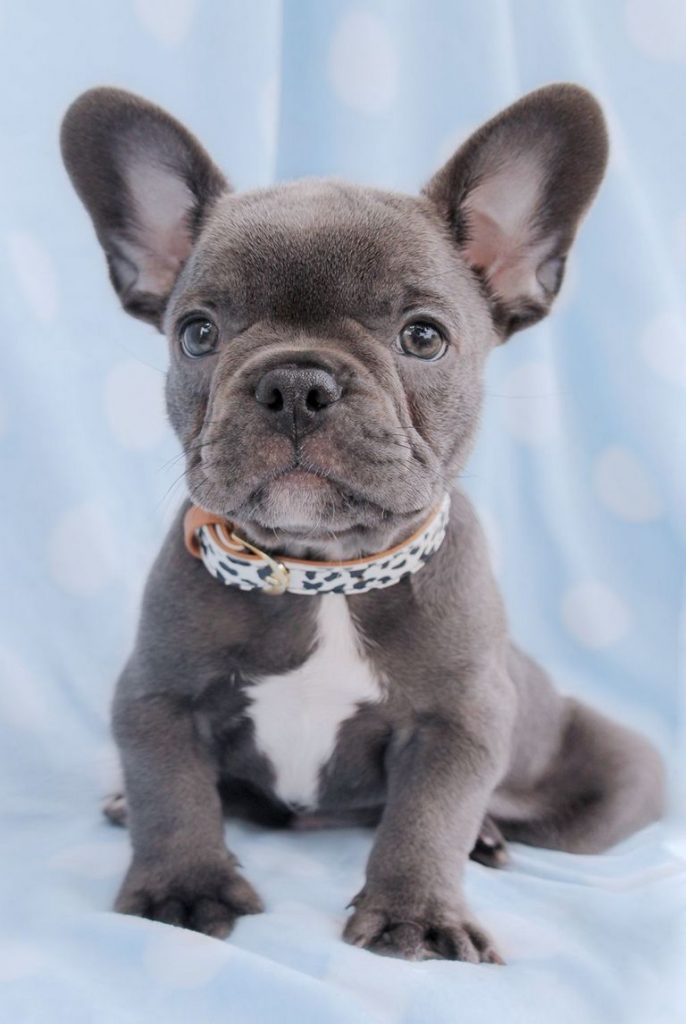 Blue And Brown French Bulldog