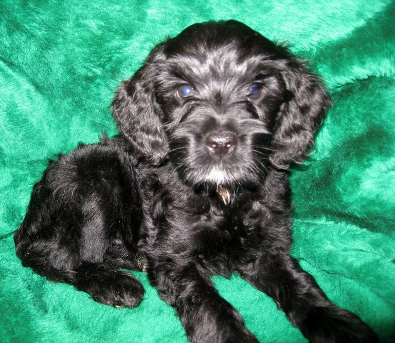 Blue Eyed Labradoodle For Sale