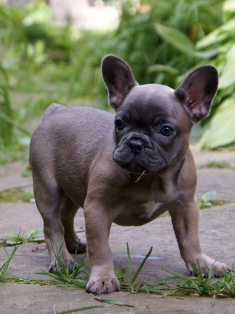 Blue Fawn French Bulldog