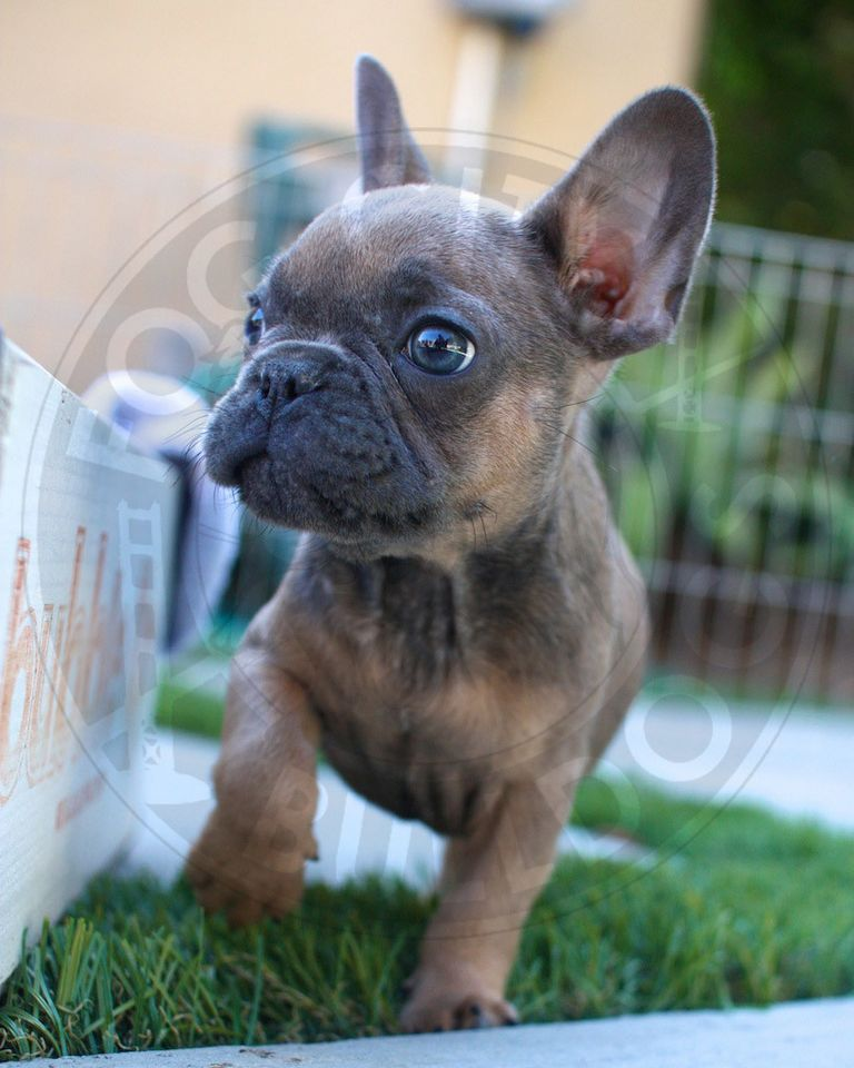 Blue French Bulldogs For Sale In California