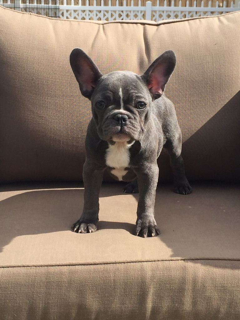 Blue French Bulldogs For Sale Near Me