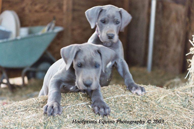 Blue Great Dane Breeders Midwest | Top Dog Information