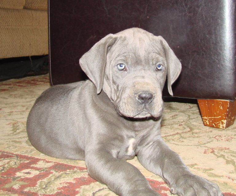 Blue Great Dane Puppies For Sale Near Me
