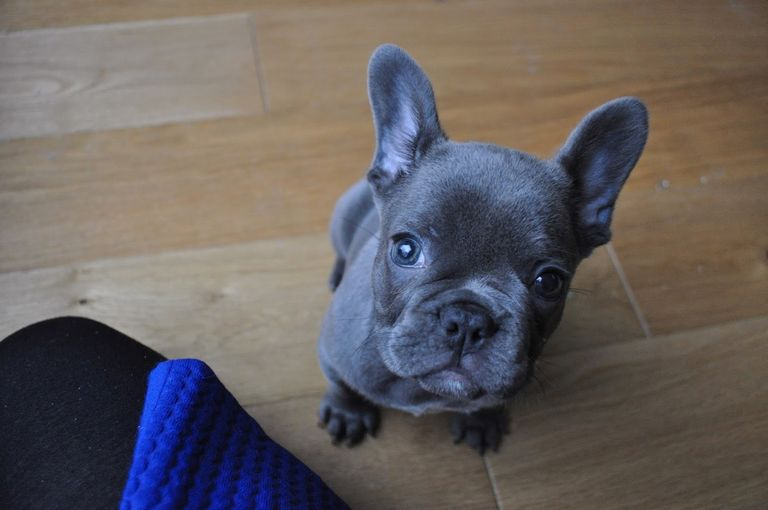Blue Haven French Bulldogs