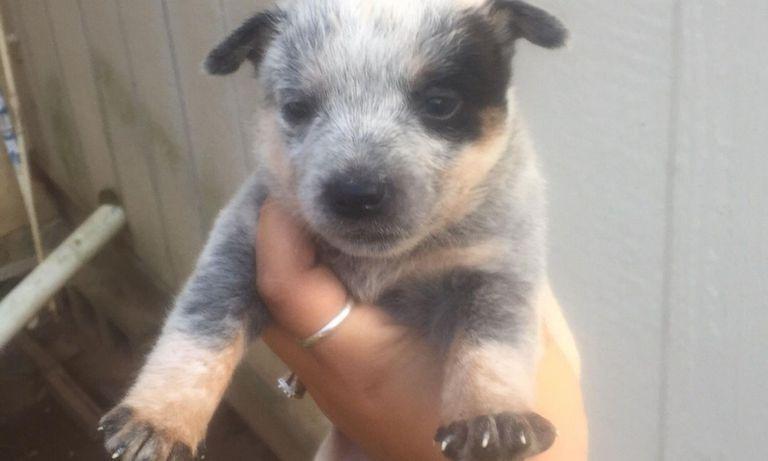 Blue Heeler Puppies For Sale In Ga