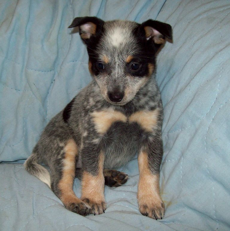 Blue Heeler Puppies For Sale In Va