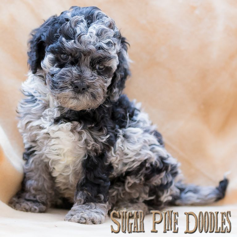 Blue Labradoodle Puppies For Sale