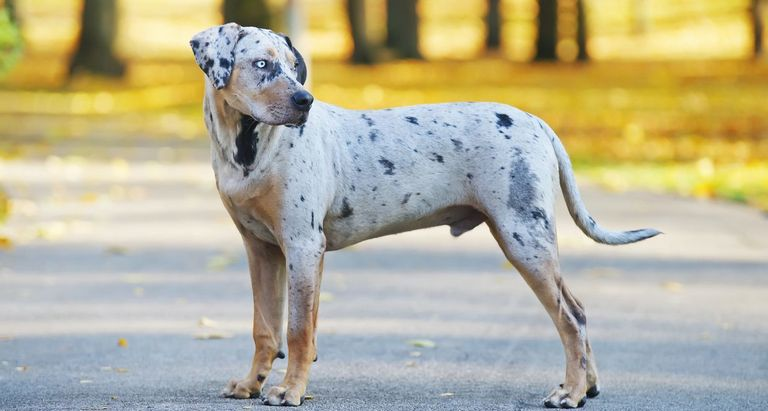 Blue Leopard Catahoula Puppies For Sale Pennsylvania