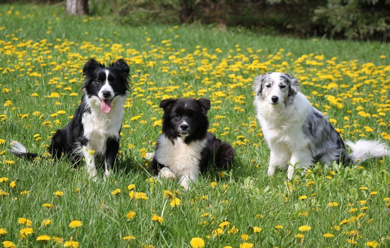 Blue Merle Border Collie Puppies For Sale In Ohio