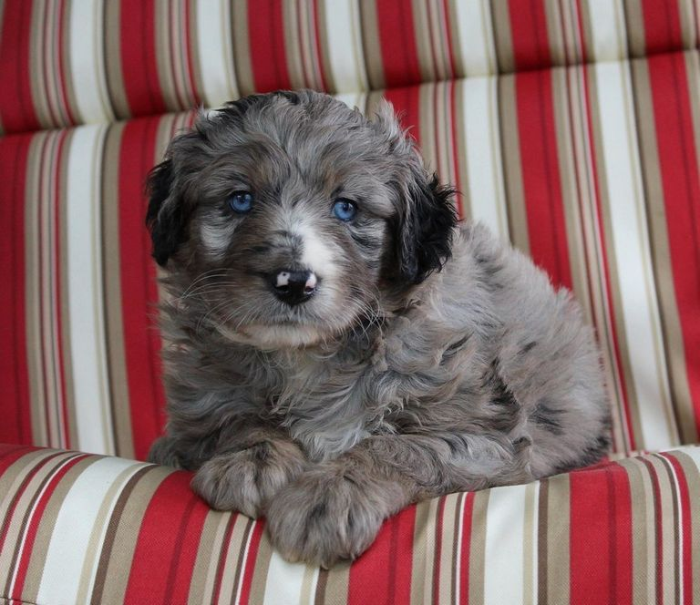 Blue Merle Cavapoo Puppies For Sale
