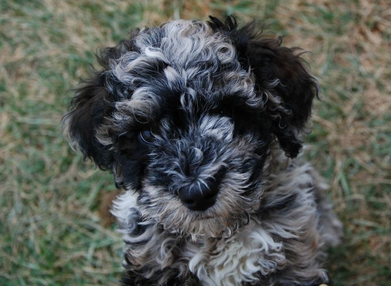 Blue Merle Labradoodle For Sale