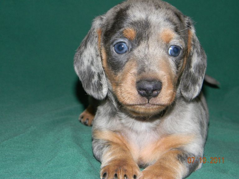 Blue Miniature Dachshund Puppies For Sale