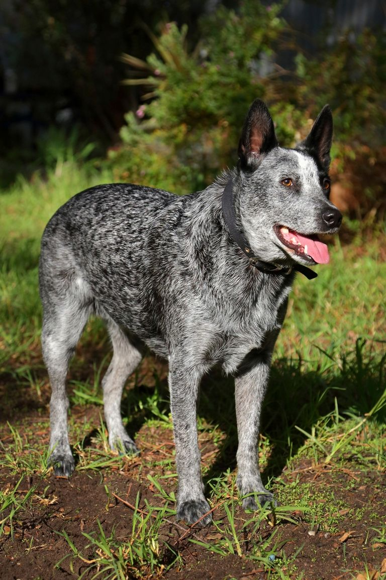 Blue Mottled Australian Cattle Dog