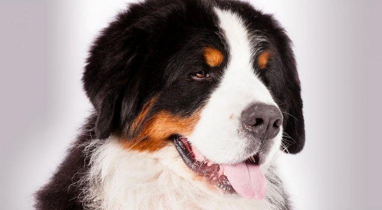 Blue Mountain Bernese Mountain Dog