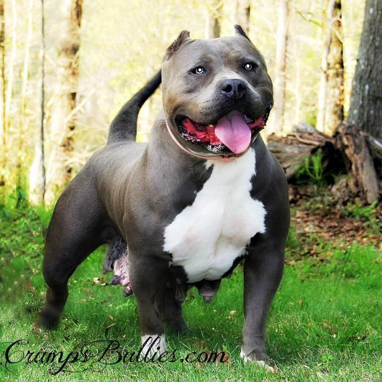 Pitbull Breeders In Tennessee