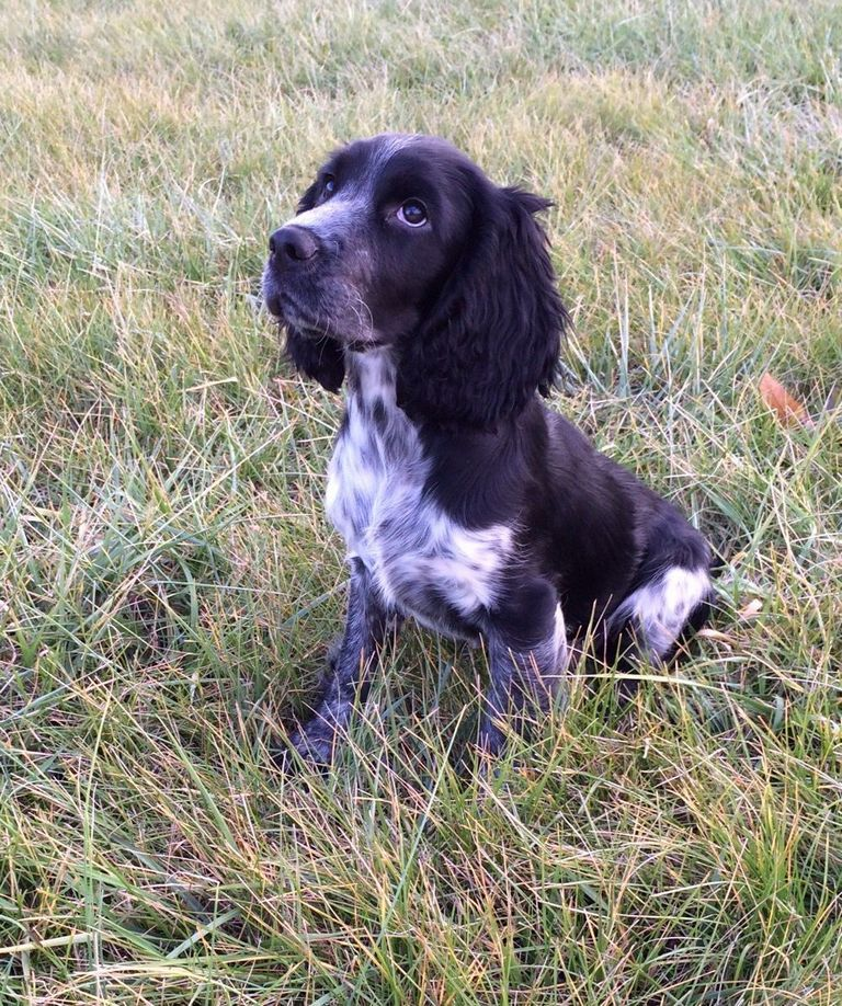 Blue Roan Springer Spaniel Puppies For Sale | Top Dog