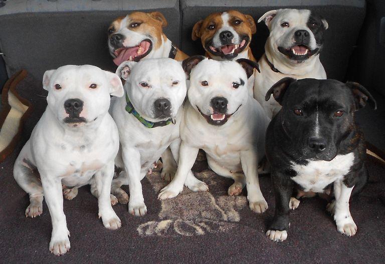 Blue Staffordshire Bull Terrier Breeders Usa