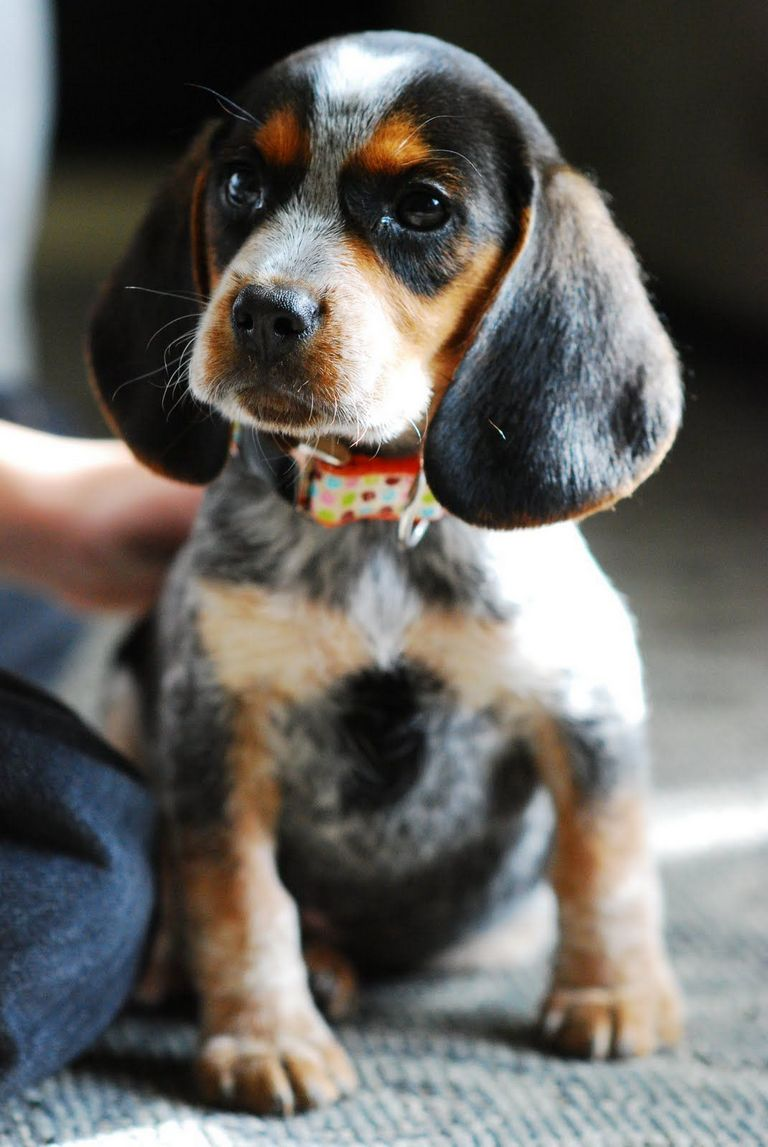 Blue Tick Beagle Puppies For Sale In Illinois
