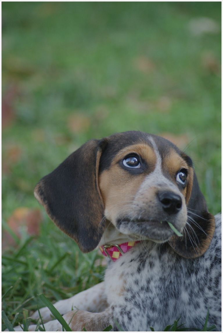 Blue Tick Beagle Puppies For Sale In Indiana