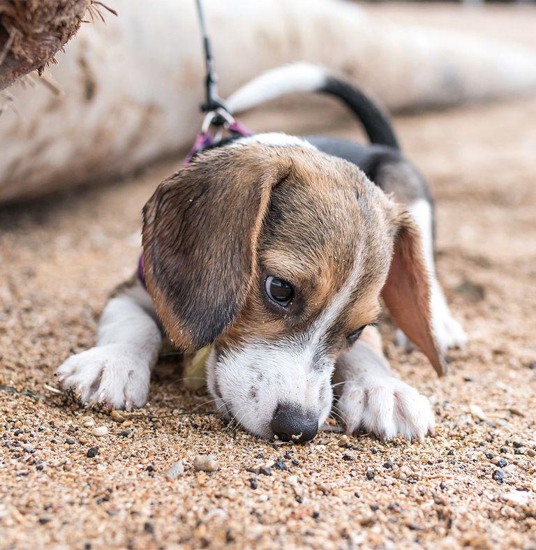 Bluetick Beagles For Sale