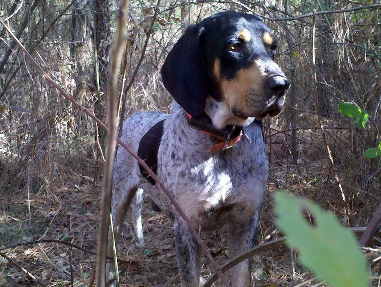 Bluetick Coonhound Puppies For Sale In Tn