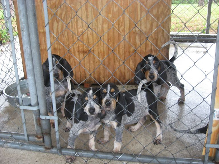 Bluetick Puppies For Sale In Nc