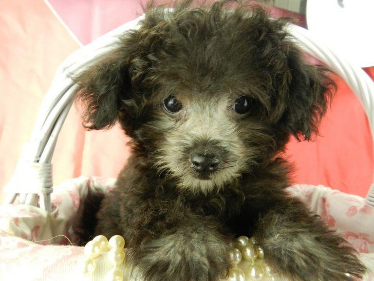 Bolonka Puppies For Sale In Michigan
