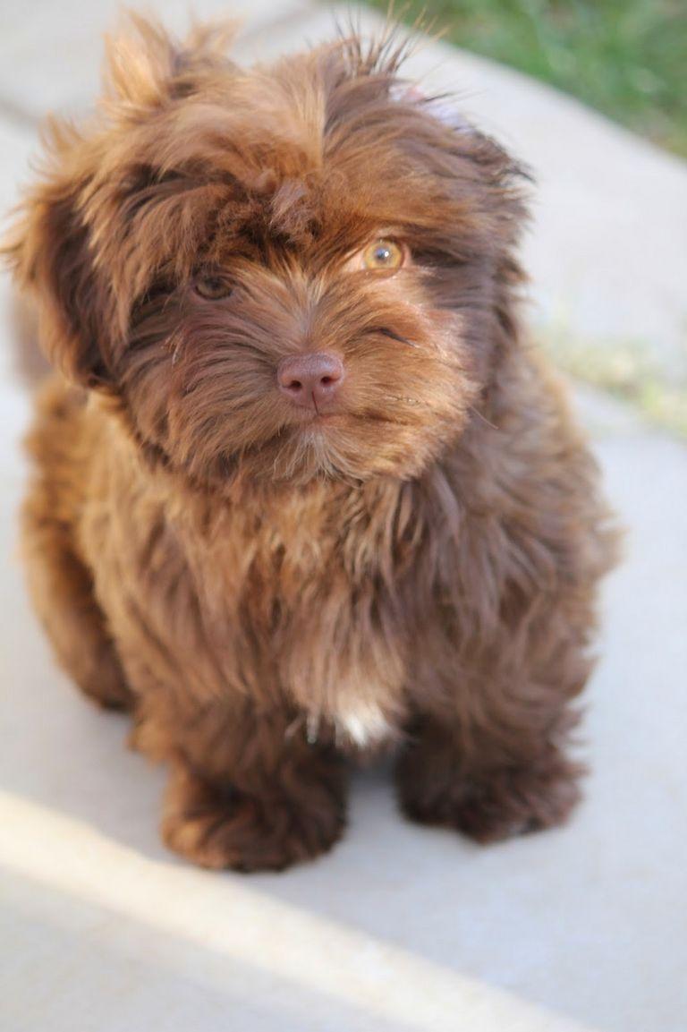 Bolonka Puppies Texas