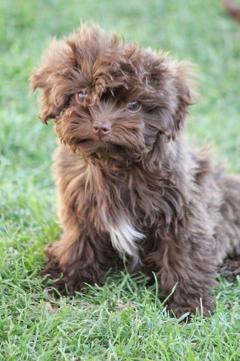 Bolonka Treasures Puppies