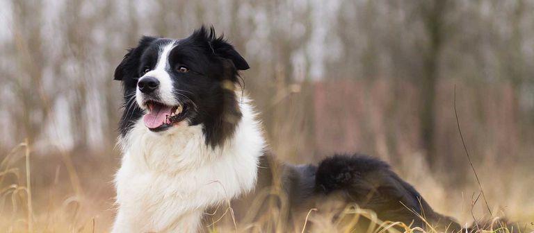 Border Collie Puppies West Virginia