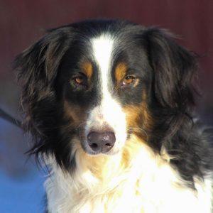 Border Collie Puppy Minneapolis Mn