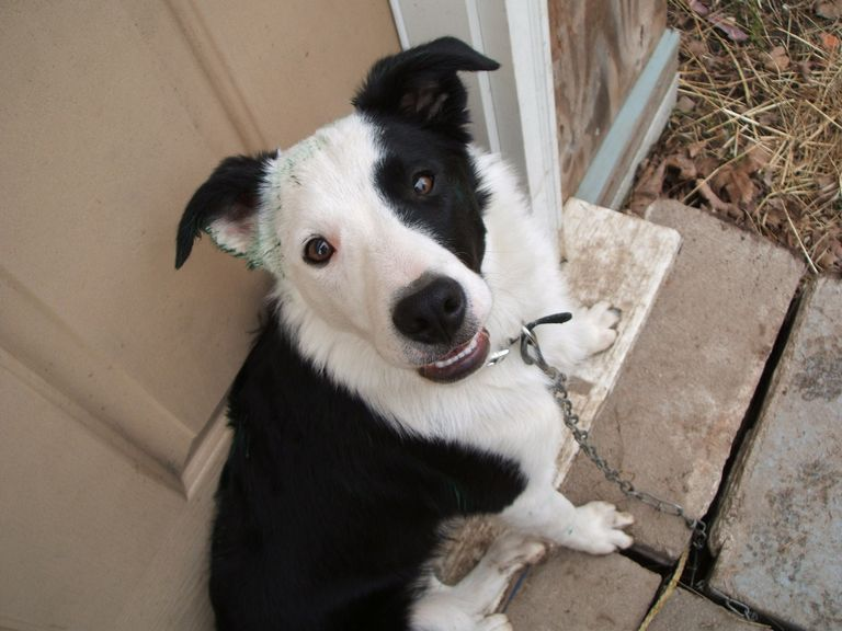 Border Collie Rescue Lansing Michigan