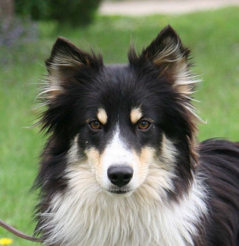 Border Collie Sheltie Mix Rescue