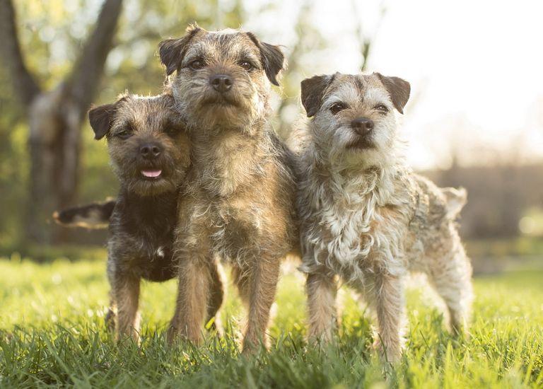 Border Terriers Classifieds