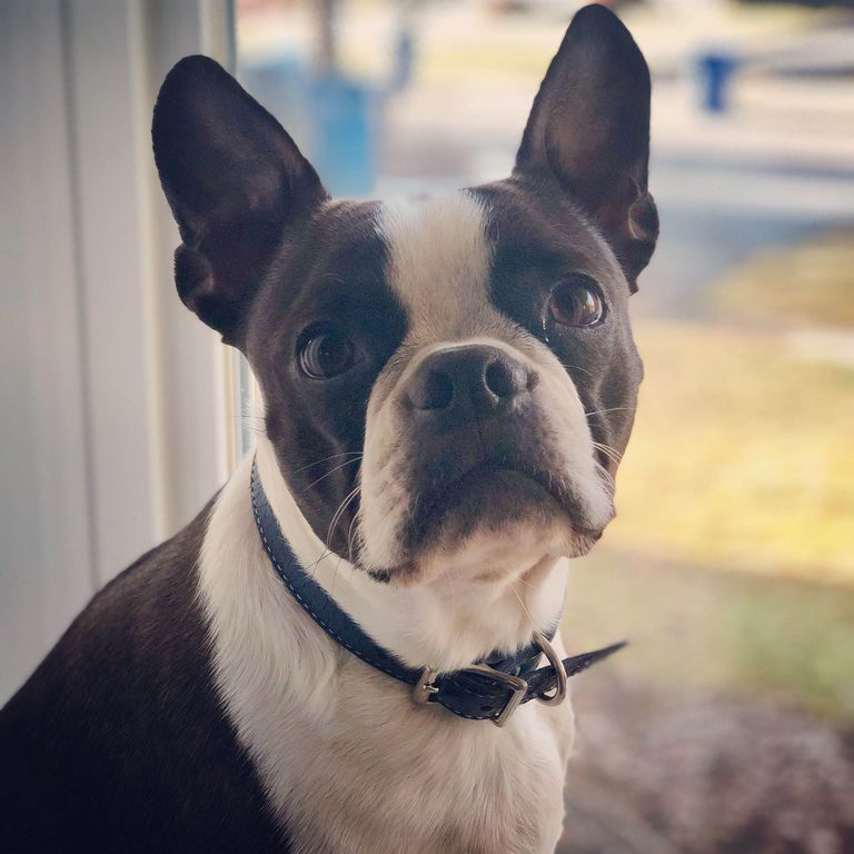 Boston Terrier Breeder In Salem Sc Top Dog Information