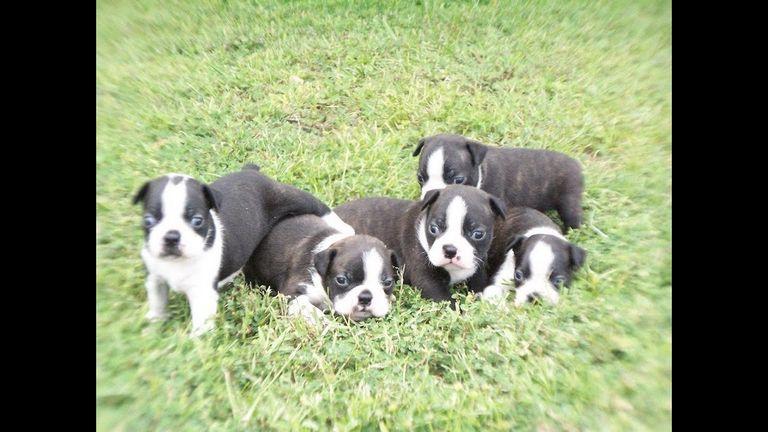 Boston Terrier Breeders Mississippi