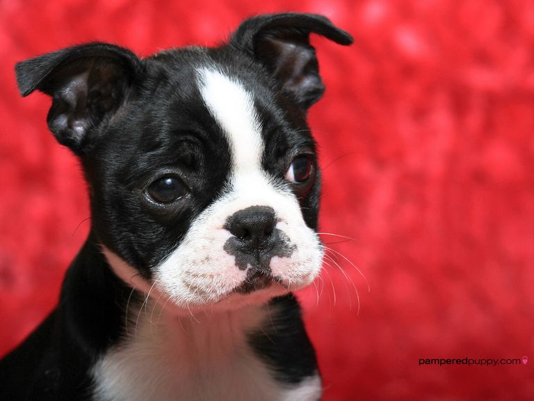 Boston Terrier Breeders Mn