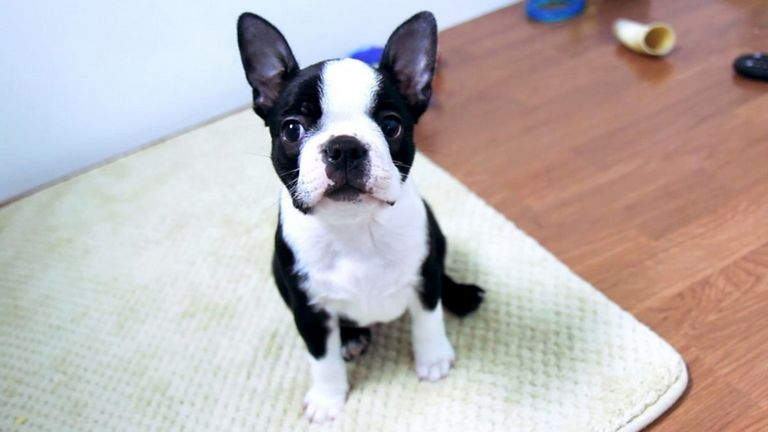 Boston Terrier Breeders Near Me